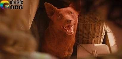 Chú Chó Đỏ -